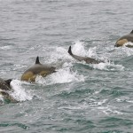 Short-beaked Common Dolphins  | © Monica Prelle